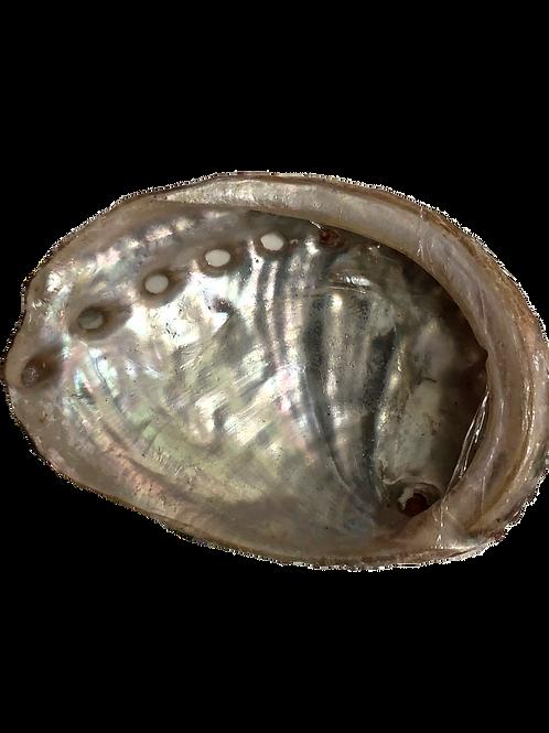 SMALL ABALONEY SHELL
