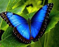 Blue Butterfly Leafy Background[8108].jp