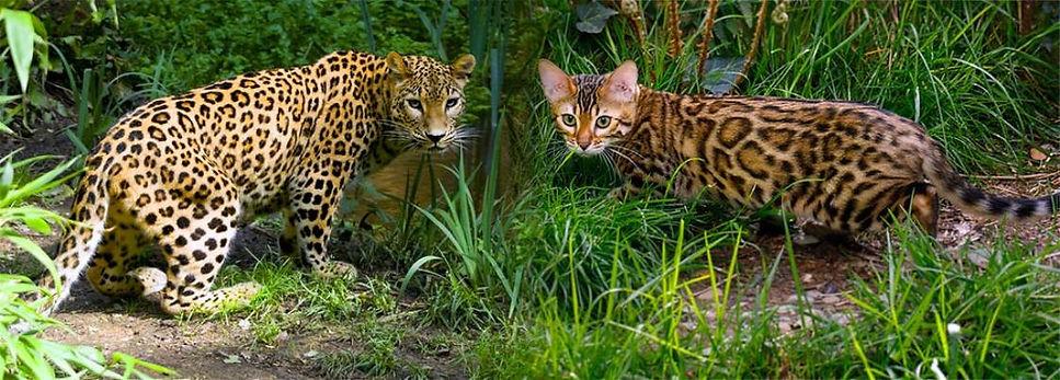 bengal-cat-vs-leopard-rosettes-1123x403.