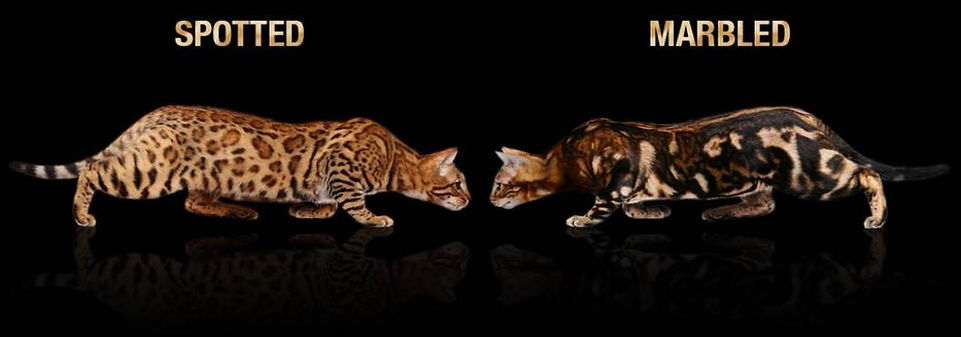 spotted-vs-marbled-bengal-cat-coat-1052x