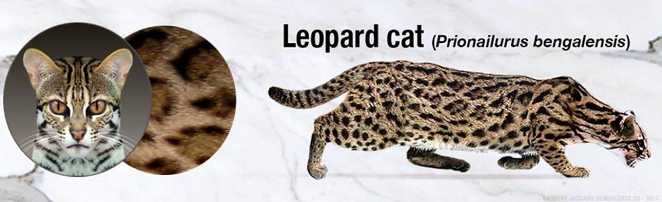 leopard-cat-color-pattern-1058x323.jpg