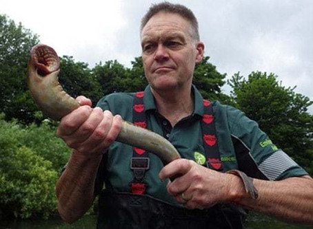 Lampreys are Swimming Back up English Rivers!