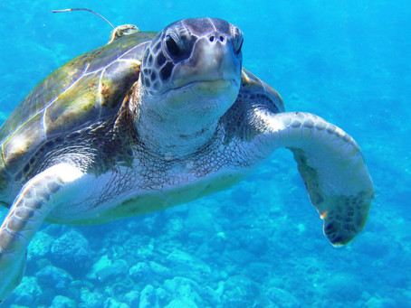 Where to swim with turtles in Tenerife.