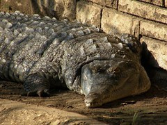 4ft Crocodile in the River Thames?