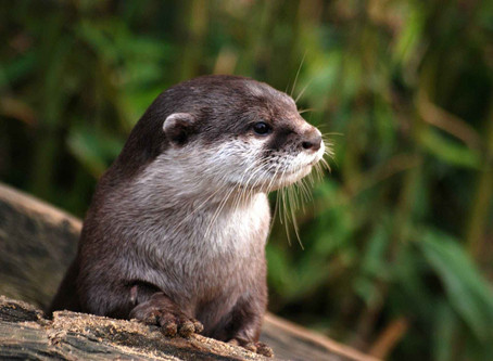 Otter Family Declare Leicester's Waterways Clean Enough for Swimming