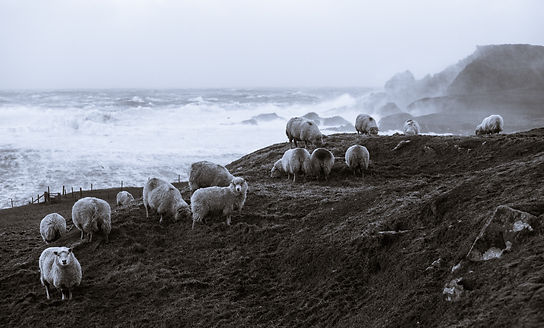 Sea Sprayed Sheep - by David Gifford.JPG