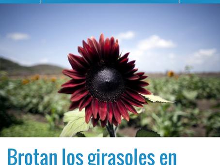 Sunflowers @ Guanica
