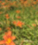 Lilies