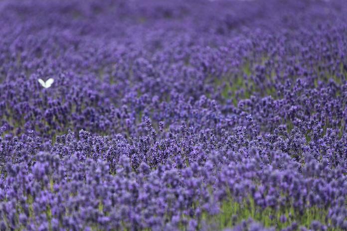 Sea of Lavender.jpg