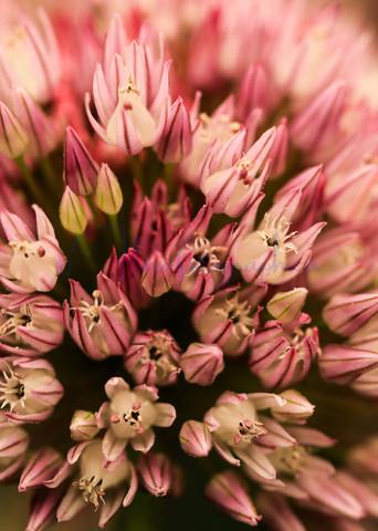 Awsome Allium