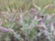 Dalea villosa (Silky Prairie Clover)