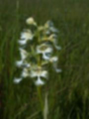 Western Prairie Fringed Orchid; photo by