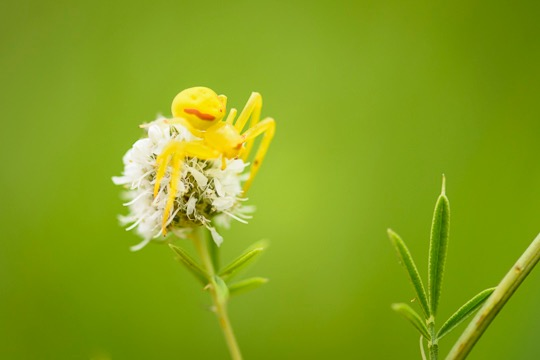 Goldenrod Crab Spider, yellow var, female, ( Misumena vatia )