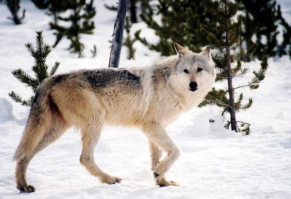 c5bc4c-20140203-montana-wolf.jpg