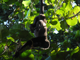 howler monkeys during morning practice