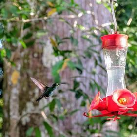 hummingbird at Villas Espavel