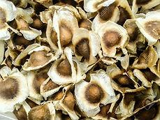 モリンガ種子