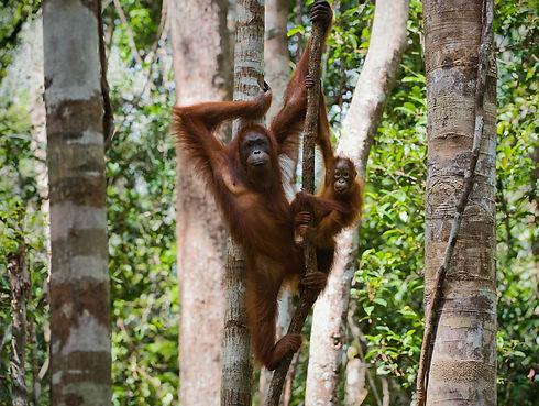 A female of the orangutan with a cub in