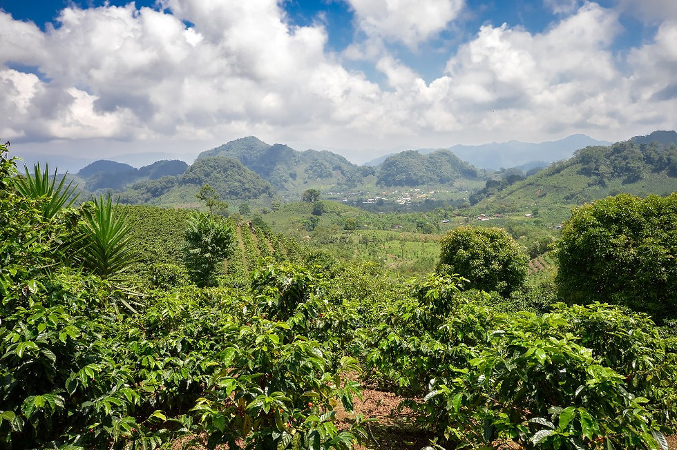 Coffee%20plantations%20with%20the%20tree