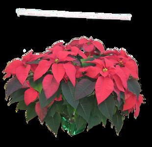 Poinsettia in 8 inch pot