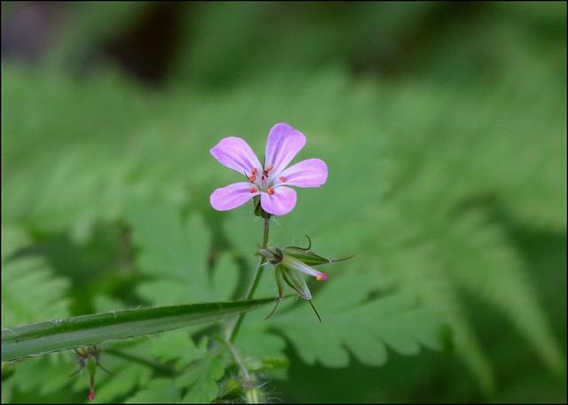 wild-geranium-4340130_640.jpg