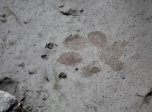 Coyote Track in soft mud.jpg