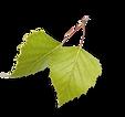 rewilding-aspenleaves.png