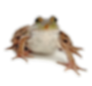 RWScamp-frog.png