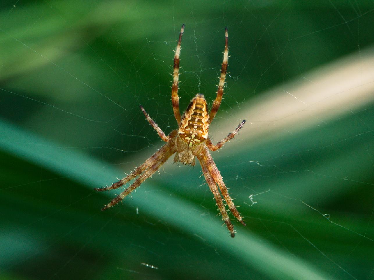 Spinnen_6