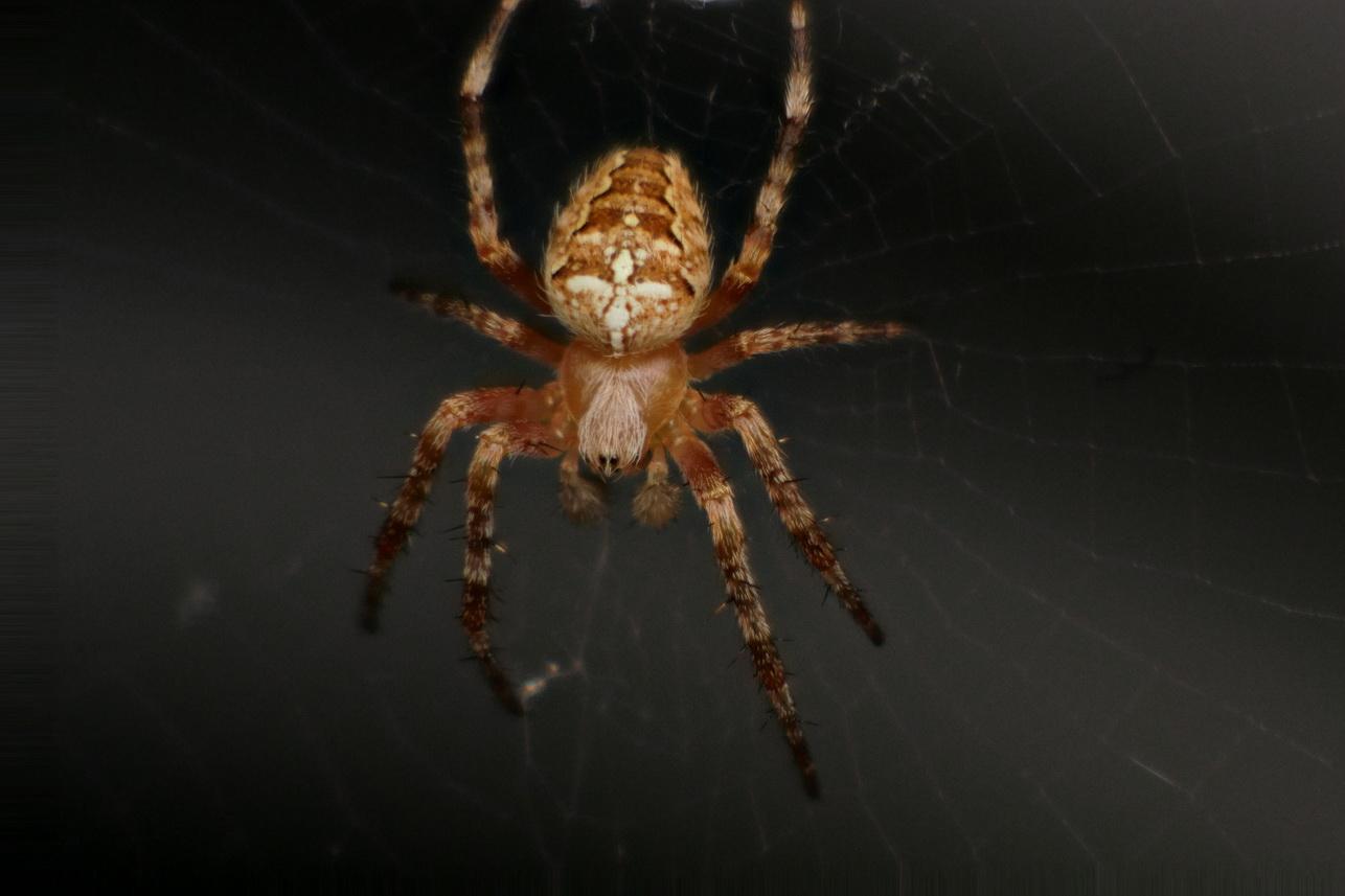 Spinnen_7