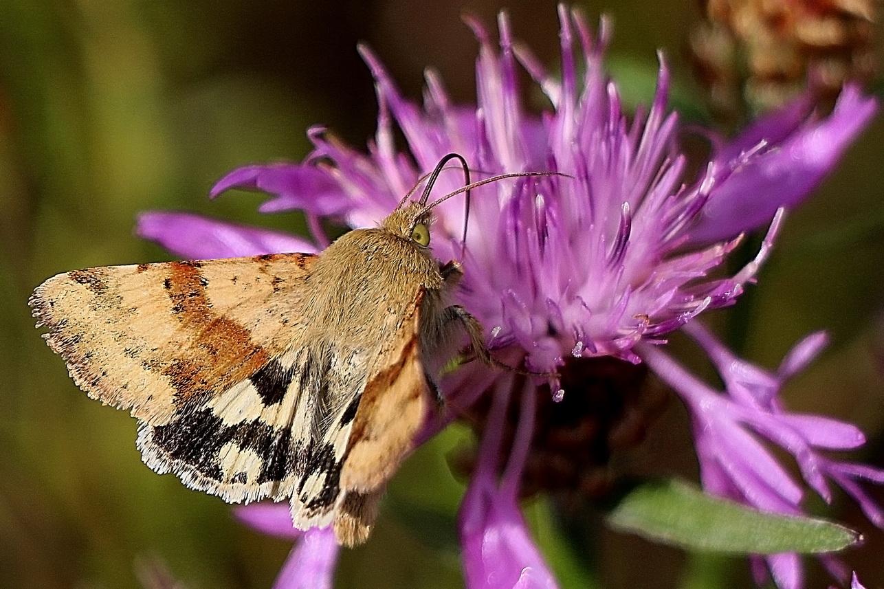 Schmetterlinge_4