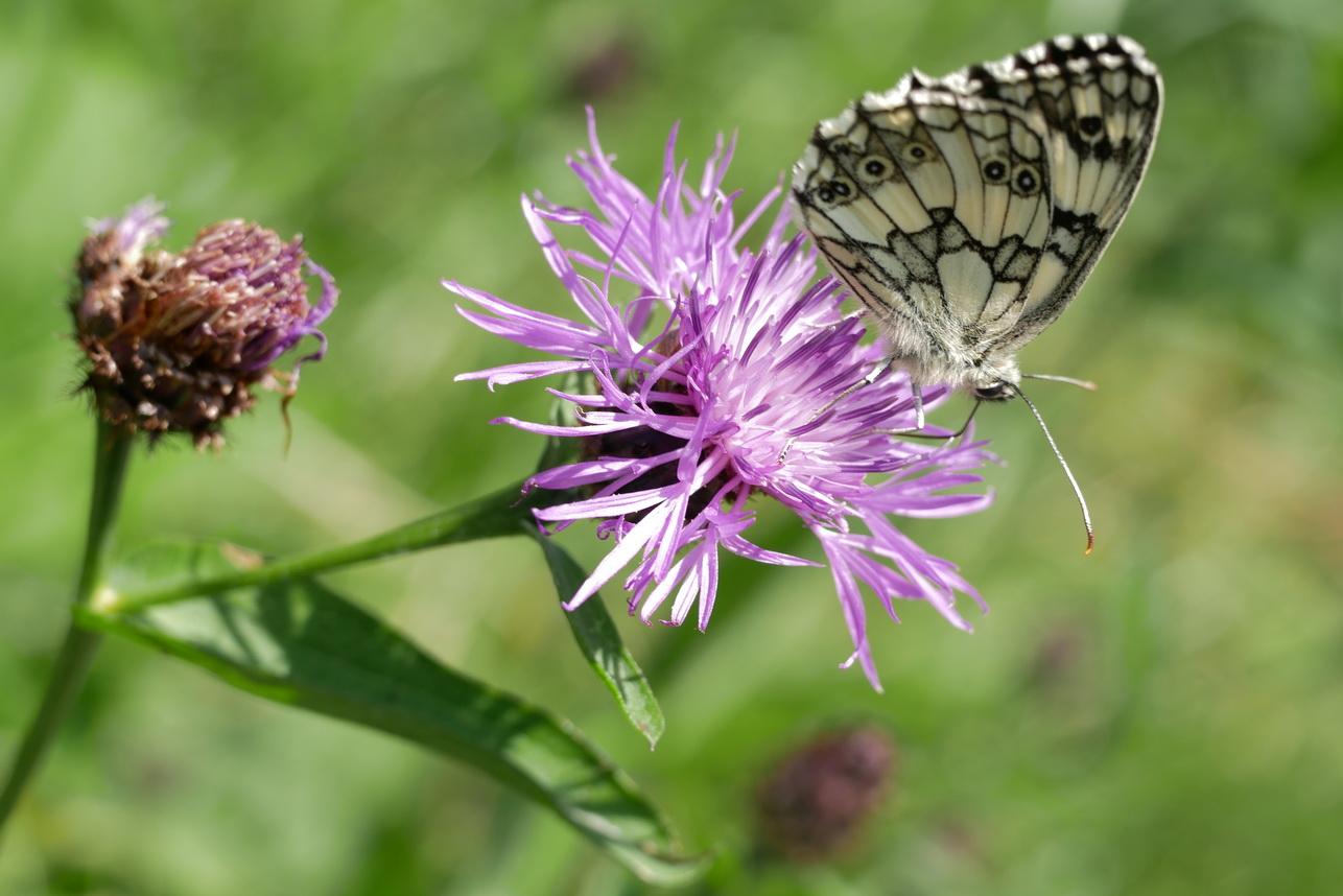 Schmetterlinge_12