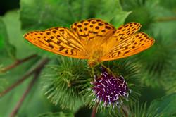 Schmetterlinge_6