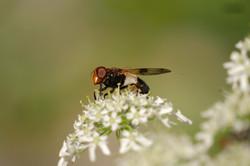 Fliege_17
