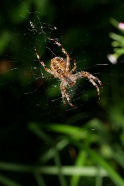 Spinnen_5