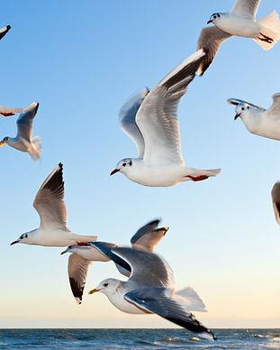 Vogelbescherming meeuwen.jpg
