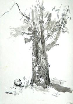 Eucalyptus tree near the Kinneret