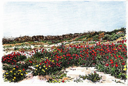 Poppies and daisies, Nahal Alexander