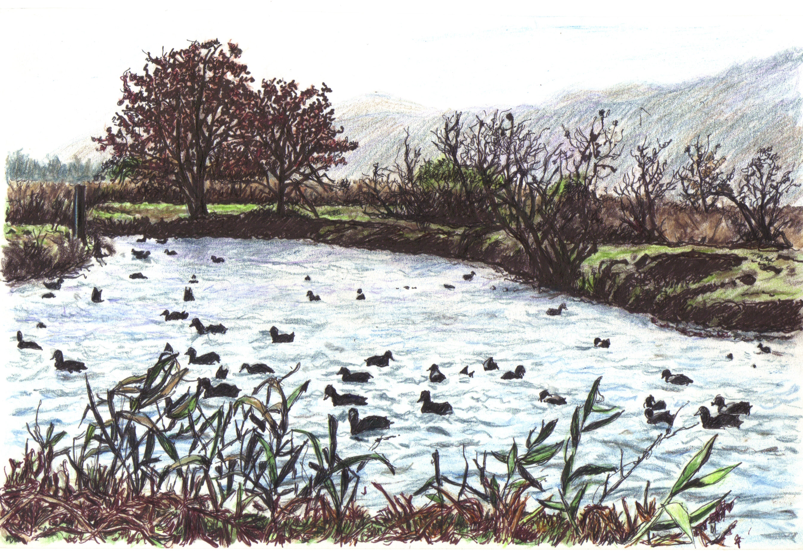 Coots in Agmon Hahula