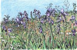 Iris Mesopotamia