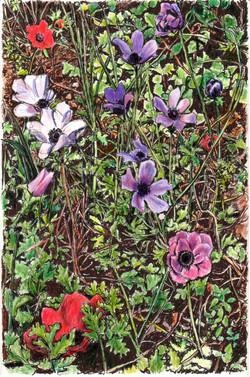 Anemones in my garden