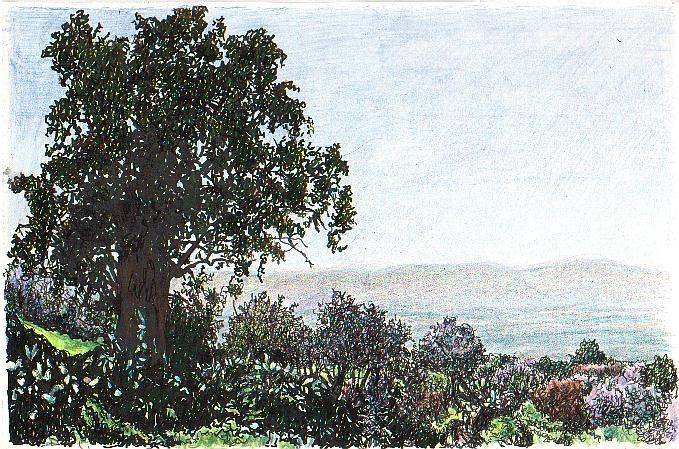 Eucalyptus and Almond trees on Golan