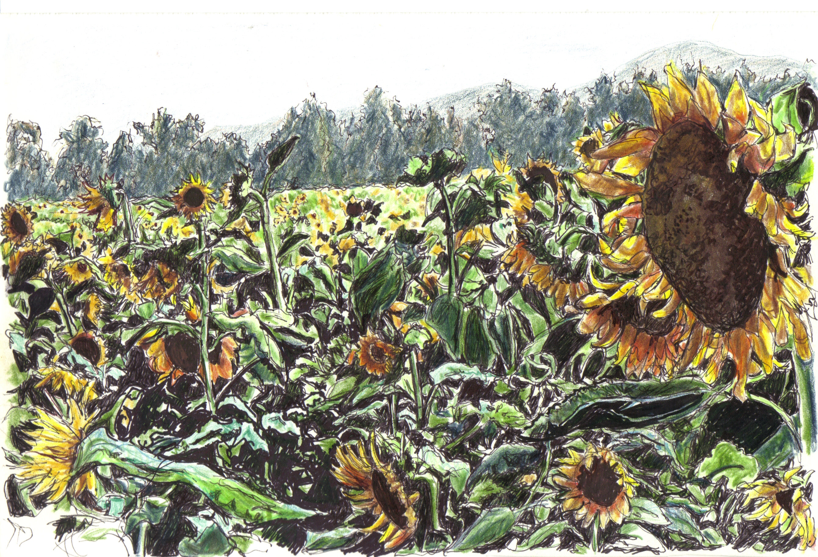 Sunflowers in Galilee