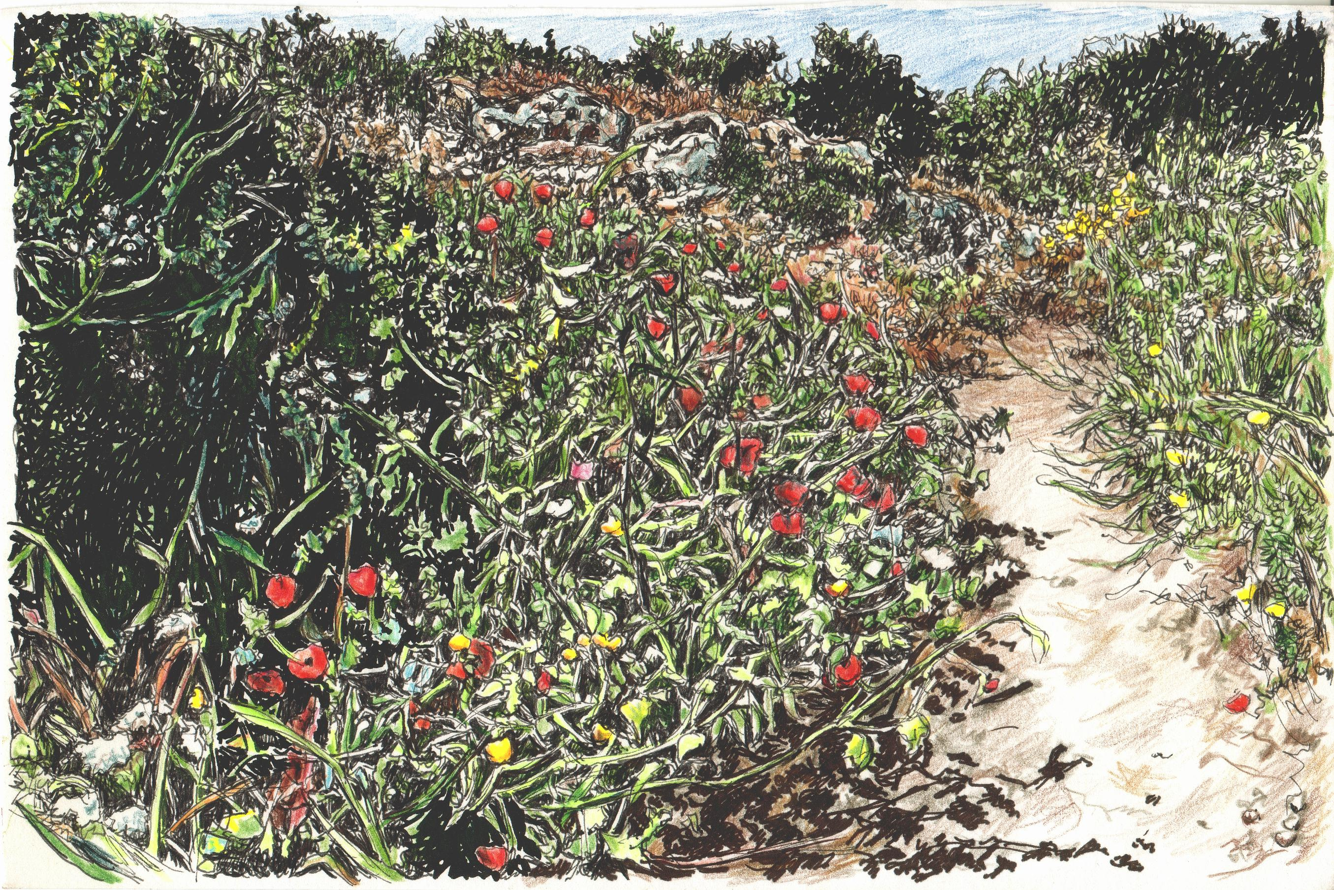 Poppies on dunes Nahal Alexander