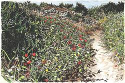 Poppies on dunes Nahal Alexander