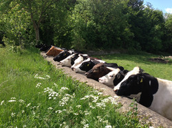 Our cows.