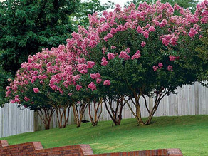 Crepe Myrtle Tree Service in Spring TX