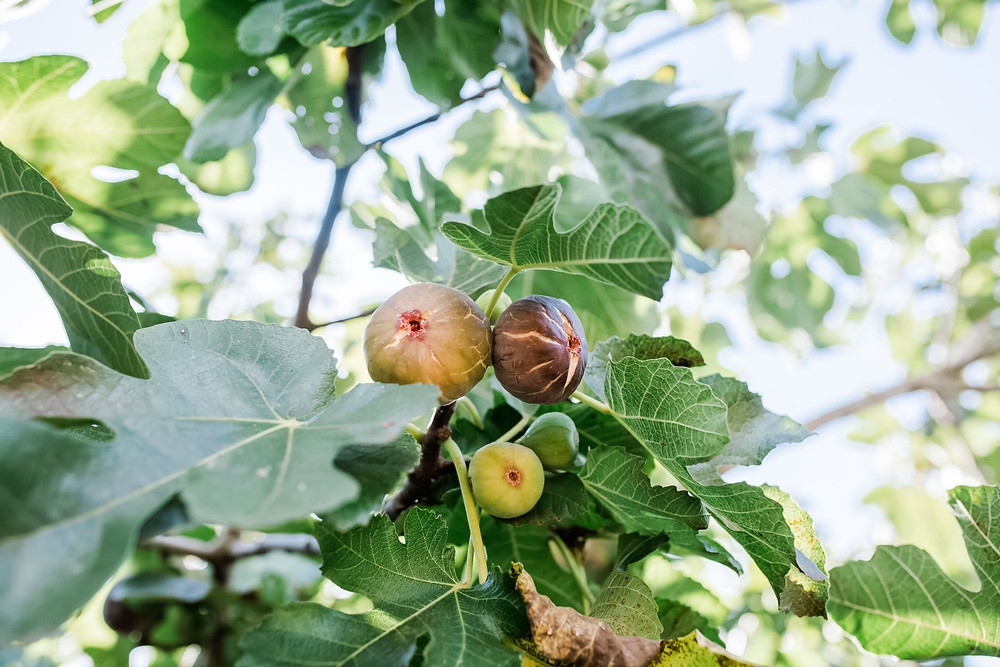 """<img src=""""tree.png"""" alt=""""pruning a fig tree to yield more fruit"""">"""
