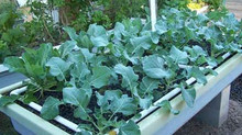 Reasons for Taking Up Aquaponic Farming