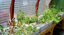 What Plants Can Be Grown in an Aquaponic System